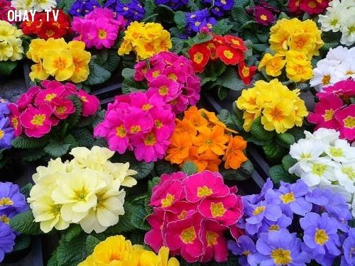 Hoa Anh Thảo Muội - Tình Yêu Thầm Lặng,hoa ngữ,ngôn ngữ các loài hoa,hoa quả,hoa đẹp