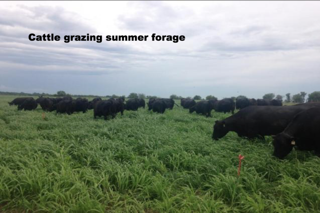 Cattle grazing annual forage