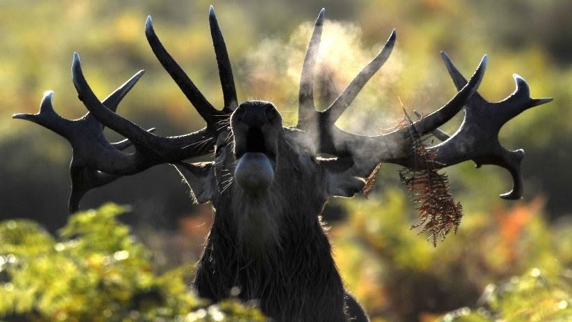 Amenaza mortal de la enfermedad del ciervo 'zombi' mueve a las autoridades de EE.UU. a buscar una cura