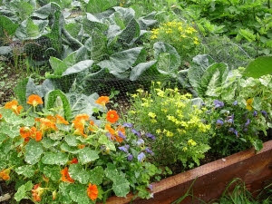 End of brassica bed planting of Nasturtium, Tagetes & Viola, to attract beneficial insects.