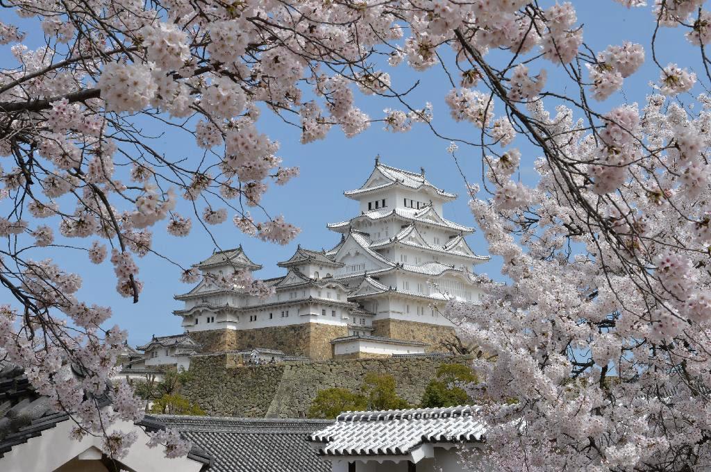 満開のサクラと美しさを競う姫路城大天守