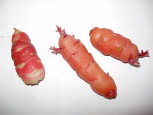Two types of Oca tubers - 1 scarlet with white eyes on left & 2 orange oca on right