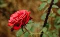 May_Roses