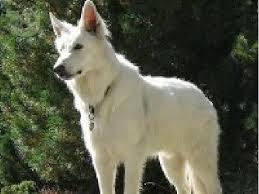 Αποτέλεσμα εικόνας για καναδεζικο λυκοσκυλο φωτο