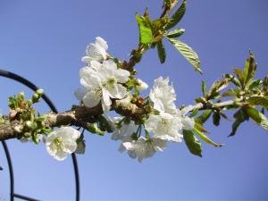 Blue Sky Cherry Blossom