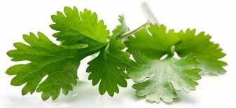 cilantro leaves2