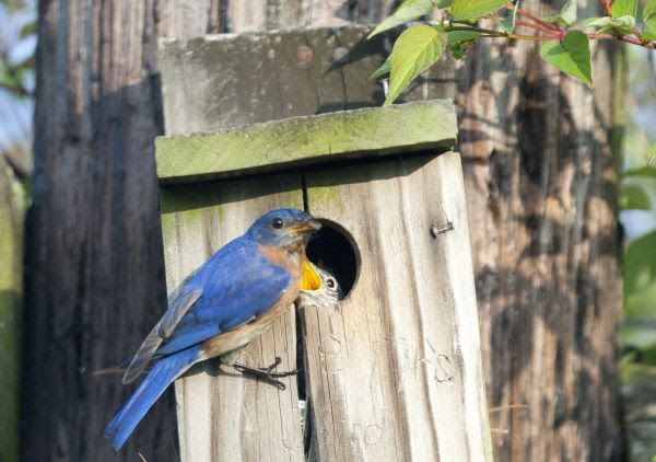 A bluebird on a nest box with its young
