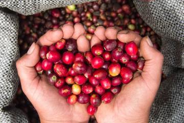 Conoce las variedades de café que tienen denominación de origen