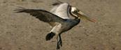 A brown pelican lands on Queen Bess Island in Louisiana.