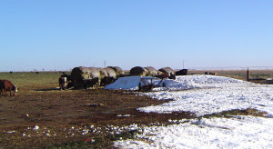 Cattle health following Winter Storm Goliath will continue to be a concern for producers. (Texas A&M AgriLife Extension Service photo by Dr. Ted McCollum)