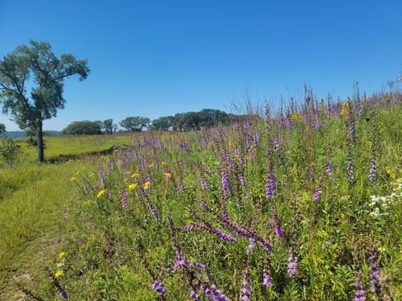 Restored prairie atop Maiden Rock Bluff State Natural Area