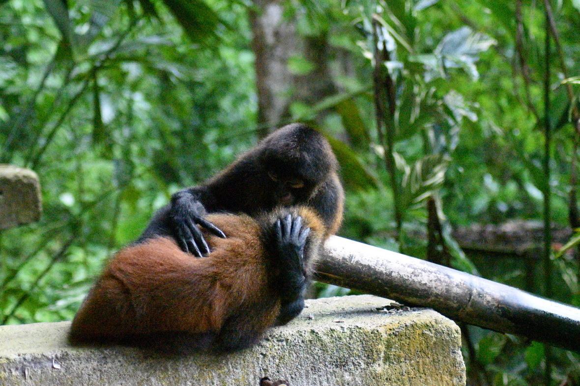 Spider monkey nursing her son, holding his head