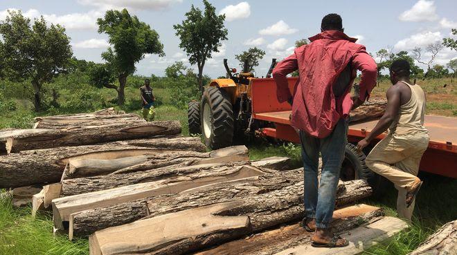 Troncos de madera de palo de rosa en Ghana