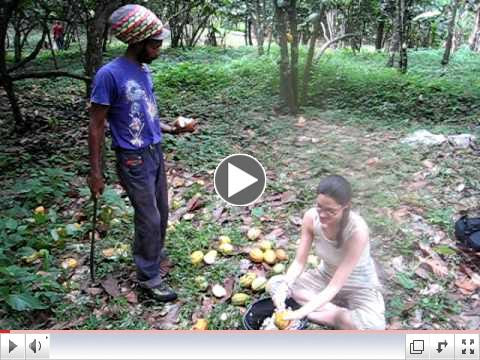Harvesting Cacao in Grenada