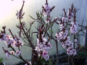 Beautiful blossom on the dwarf potted peaches and apricots in the fruit tunnel
