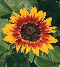 Sunflower Ring of Fire   All-America Selections